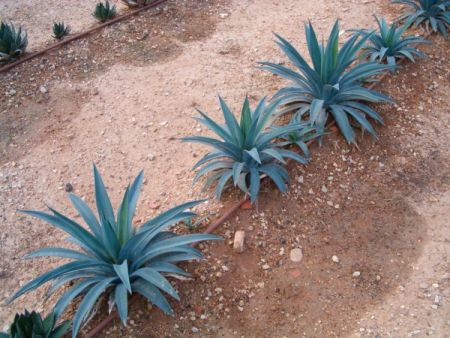 Agave amaniensis